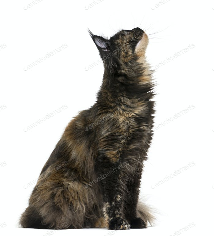Maine Coon looking up in front of a white background