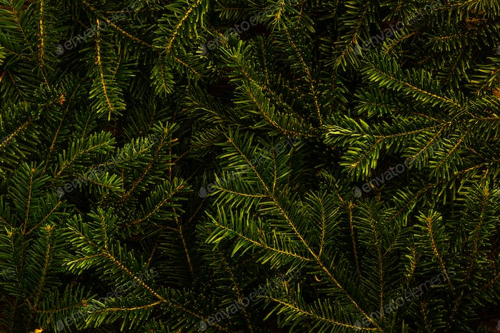 Christmas Spruce Fir Tree Background.