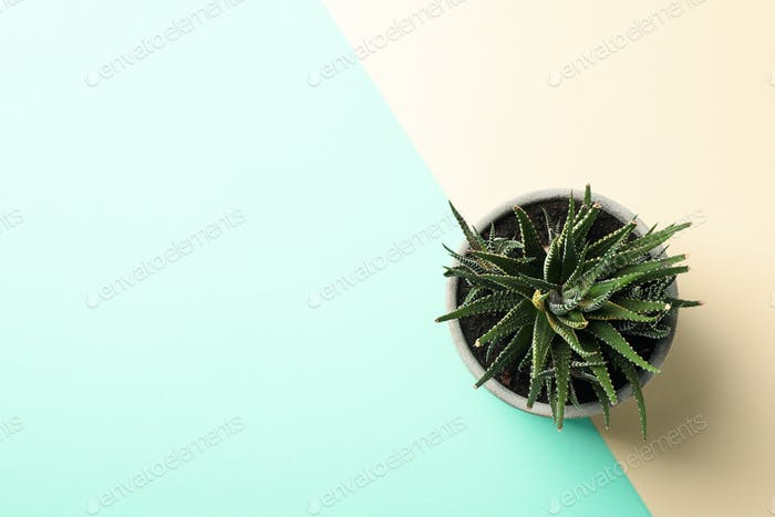 Succulent plant on two tone background, top view