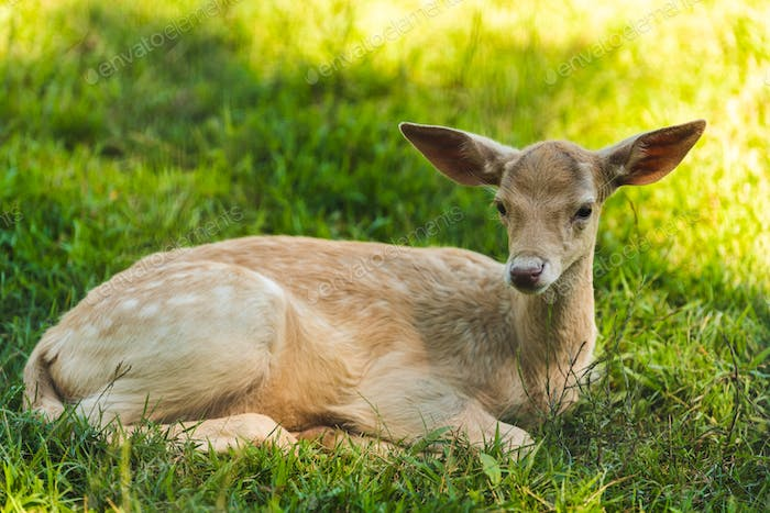 Young deer lying on the grass in shade