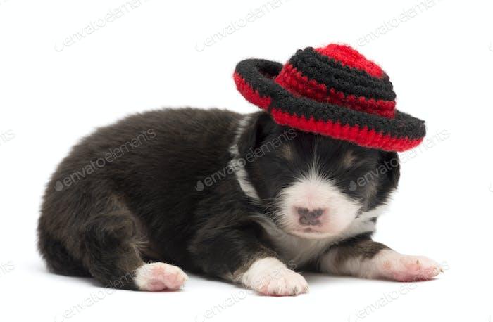 Australian Shepherd puppy, 12 days old, wearing a hat against white background