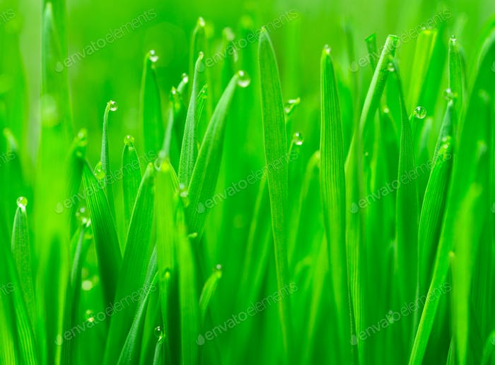 Microgreens Growing Panoramic Dew on Wheatgrass Blades