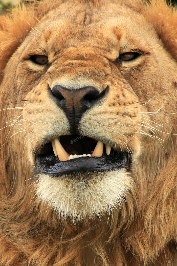Männlicher Löwe - Kenia