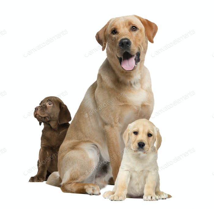 Labrador Panting And Puppies Isolated On White Photo By Lifeonwhite