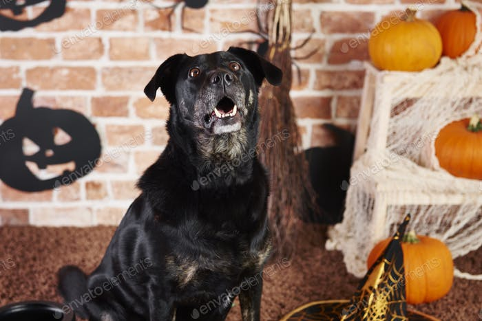 Black dog looking up and barking