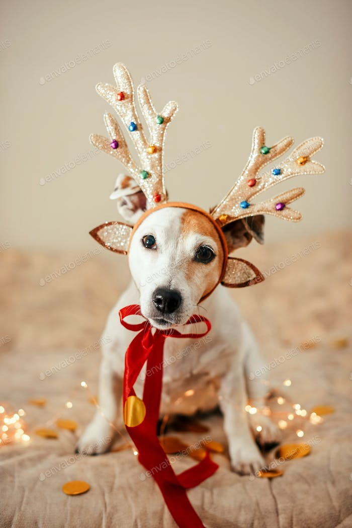 Funny dog in a deer costume with antlers, preparation for the party, masquerade