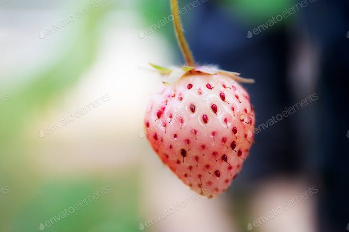 Strawberry with green background