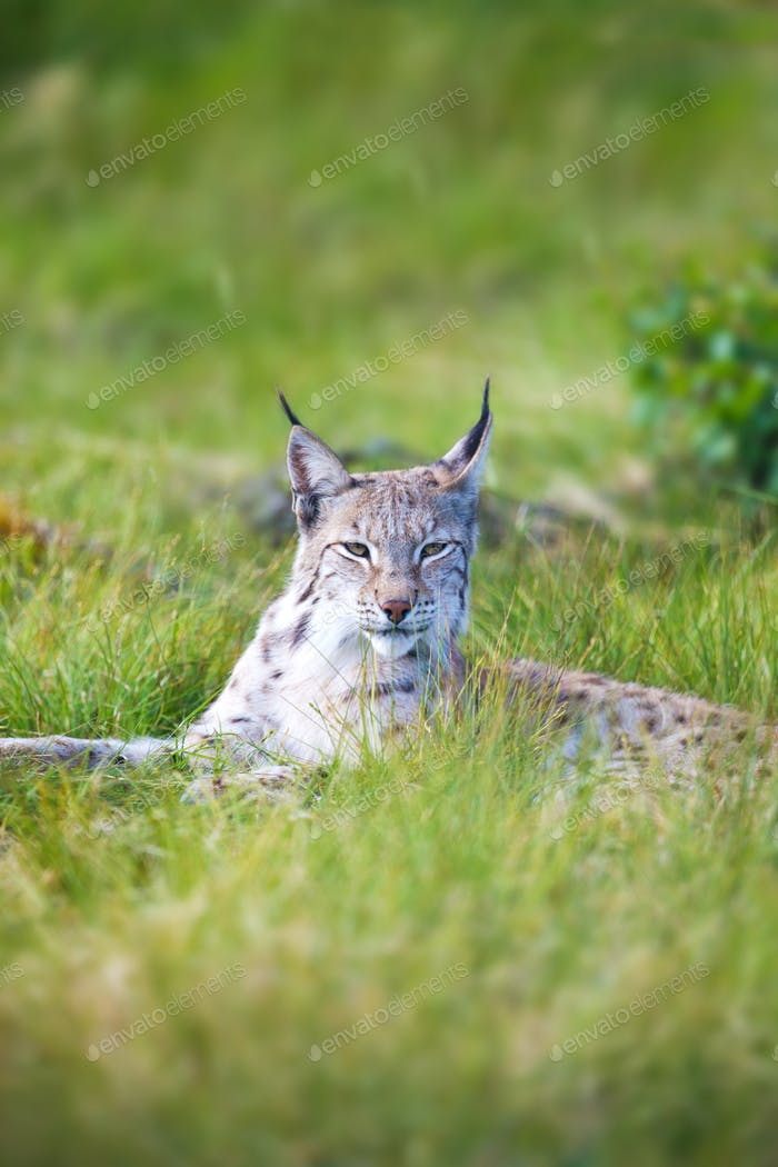 Proud lynx in the grass