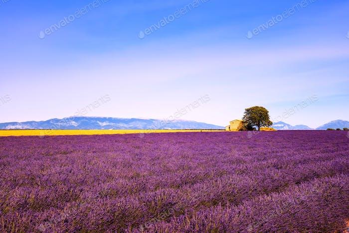 Lavendelblüten blühenden Feld, Haus und Baum. Provence, Franc