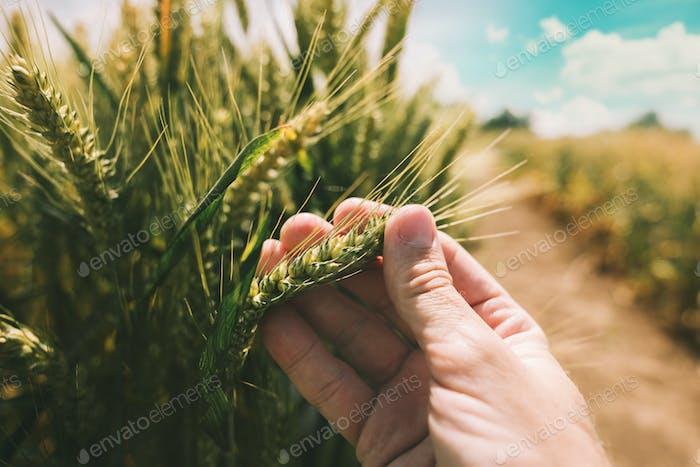 Landwirt untersucht die Entwicklung von Weizenpflanzen
