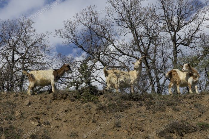 Herd of mountain goats on the slopes in the bushes