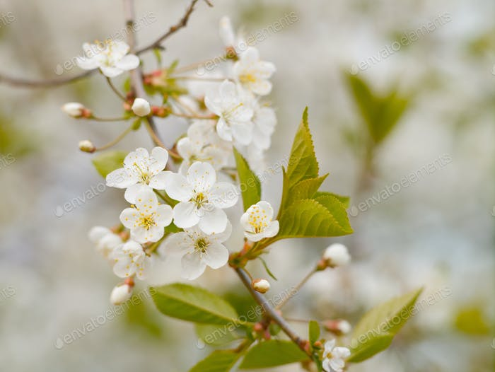 Blooming white cherry in spring day, natural light, Macro