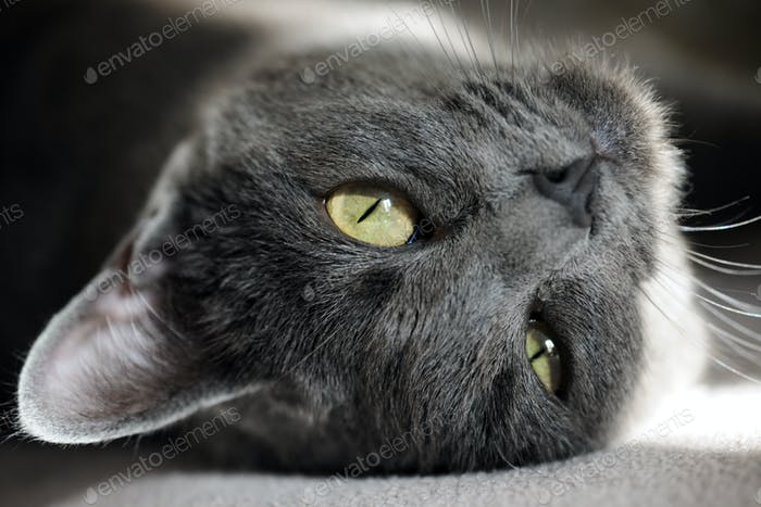 niedliche graue Katze