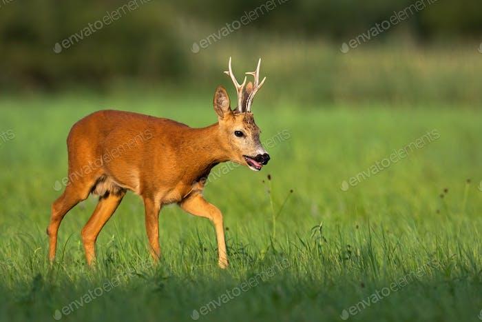 Ruhiger Rehbock geht auf Wiese mit grünem Gras und Schilf im Hintergrund