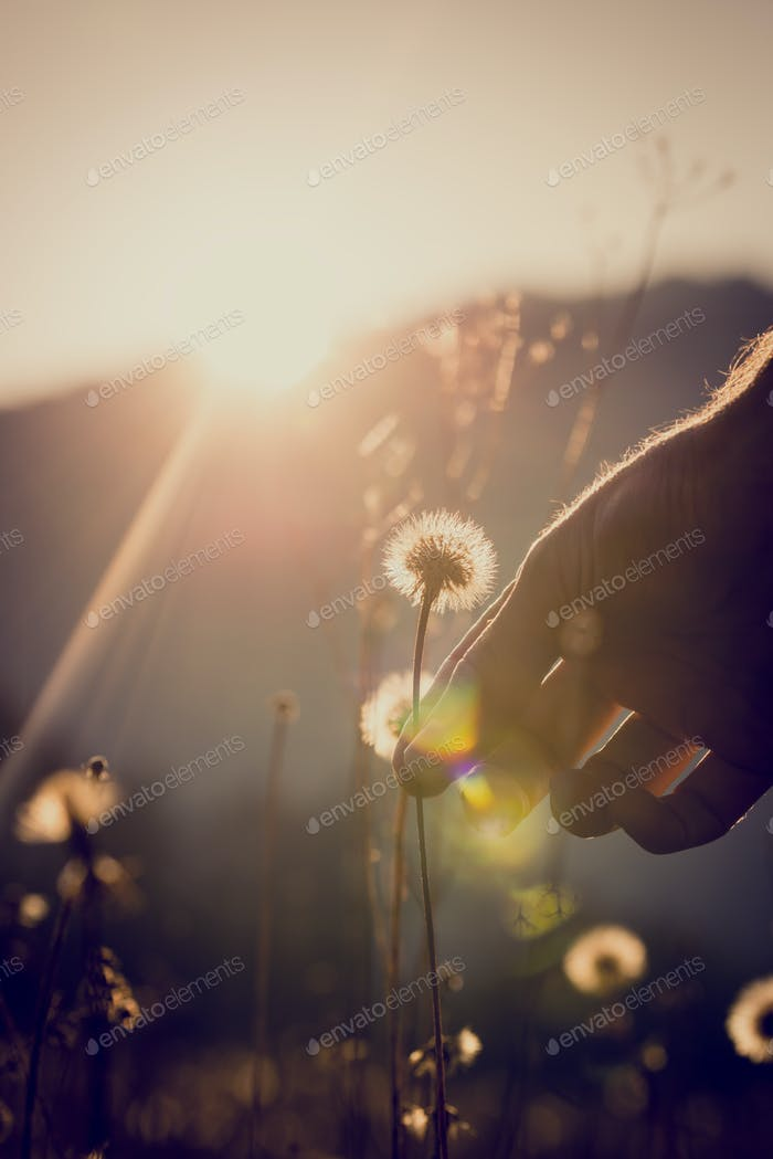 Dandelion clock or seed head in sun flare