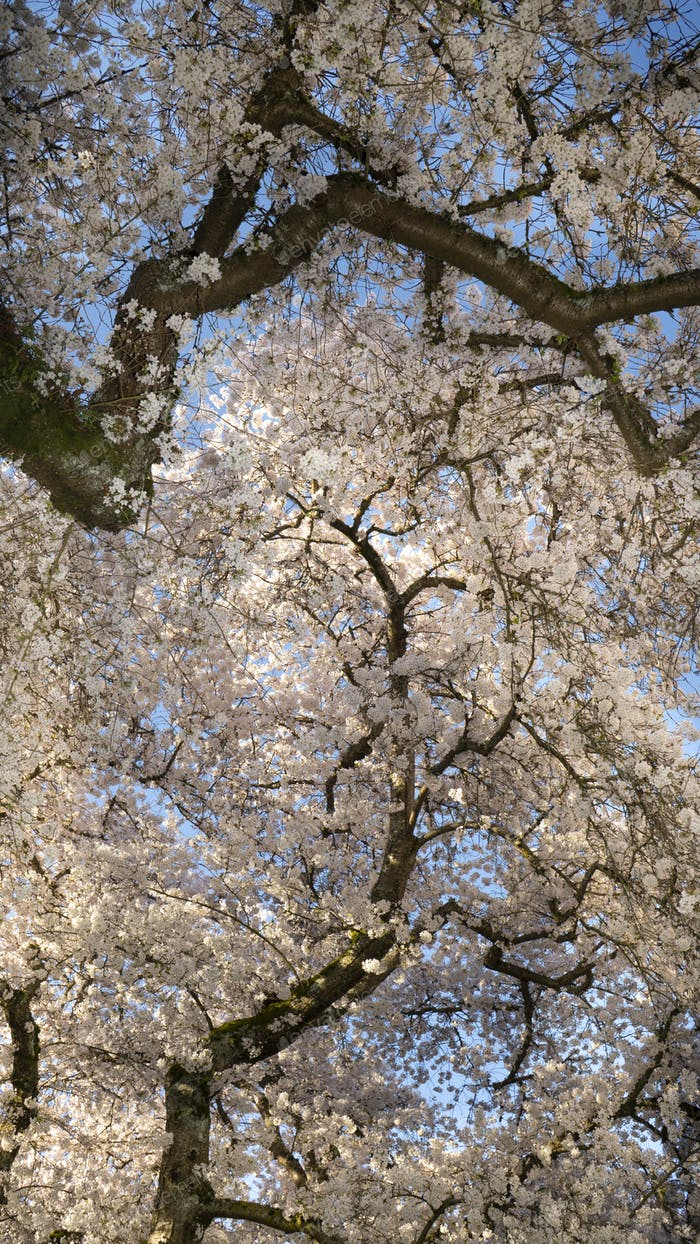 Vertical Composition Blooming Cherry Blossoms on Two Trees