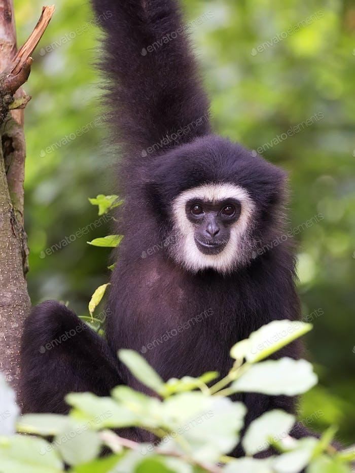 Lar gibbon a portrait