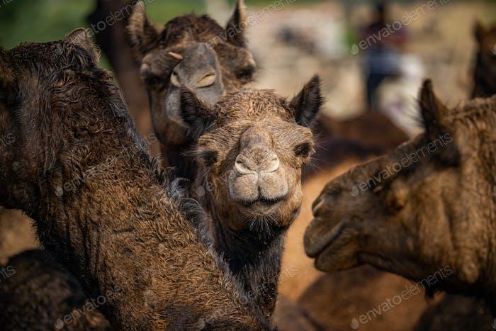 Camels at the Pushkar Fair Rajasthan, India.