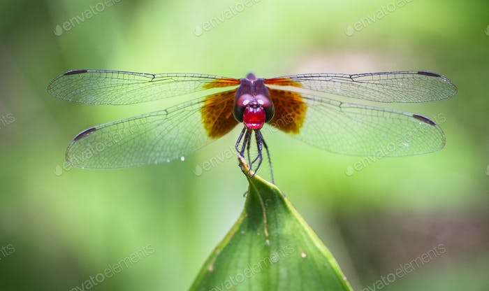 Dragonfly Up Close in Costa Rica