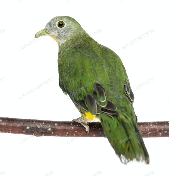 Rear view of a Black-naped Fruit Dove perched on branch, Ptilinopus melanospilus, 2.5 months