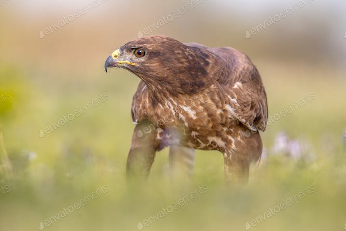 Buzzard perched in grass