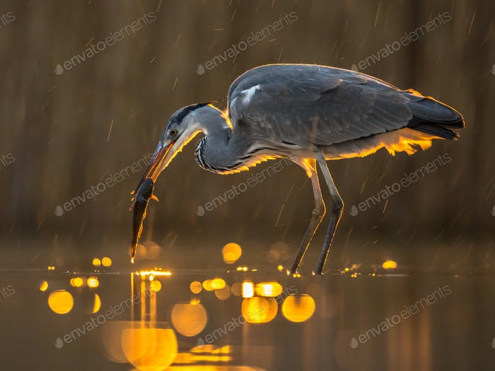 Silhouette of Grey heron hunting at night for fish