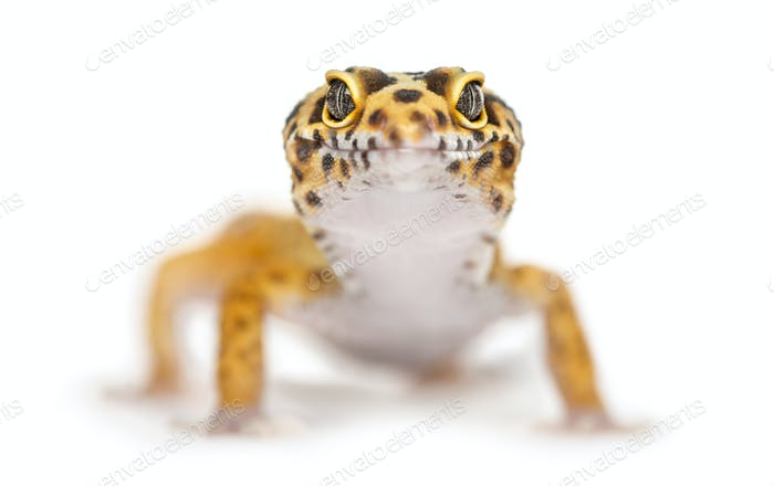 Close-up of a leopard gecko, isolated on white