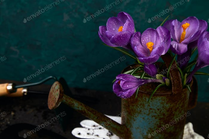 Crocus flower in watering pot. Spring, Gardening tools