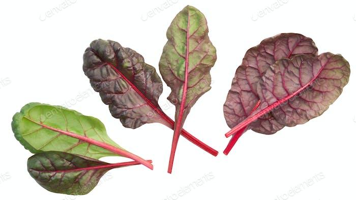 Mangold Mangold Beta vulgaris Blätter, oben, Pfade