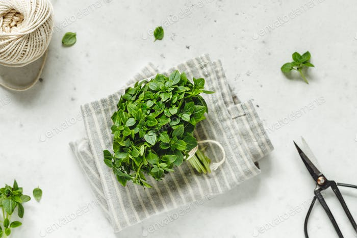 Bunch of fresh Greek Basil on a white kitchen table with garden scissors.