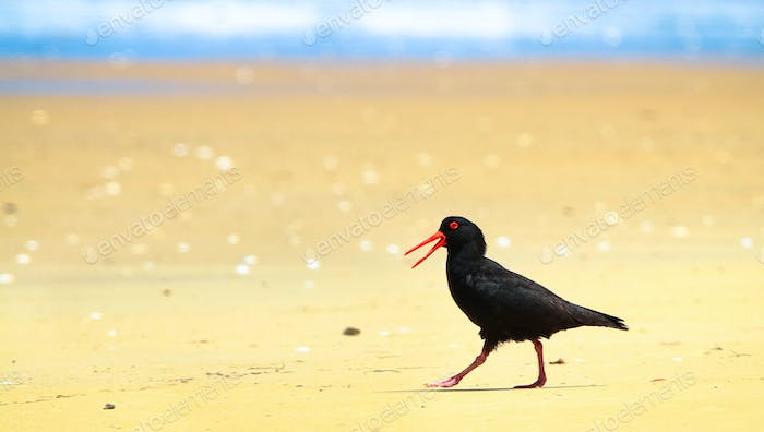 Sooty Oystercatcher on a White Sand Beach in Australia