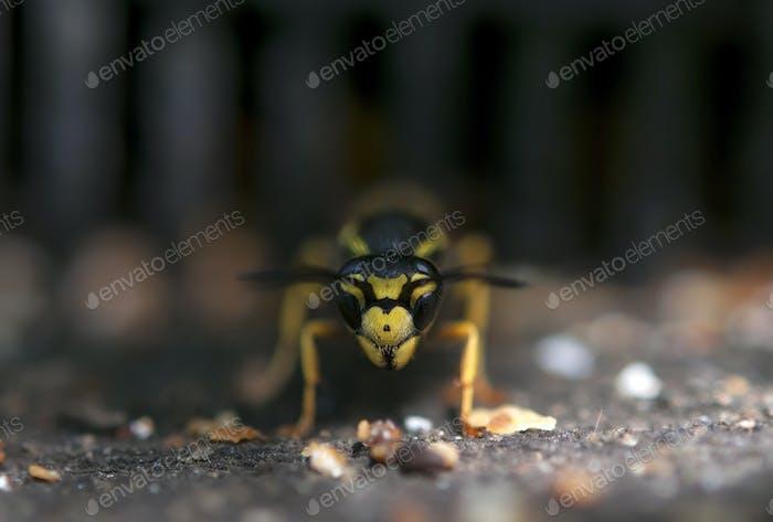 Wespengesicht