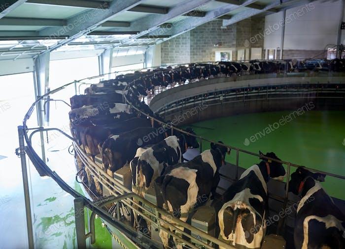 Melkkühe im Milchviehbetrieb