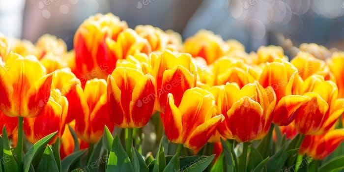 Blumengärten in den Niederlanden im Frühling.