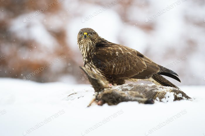Majestic common buzzard sitting on a field in winter