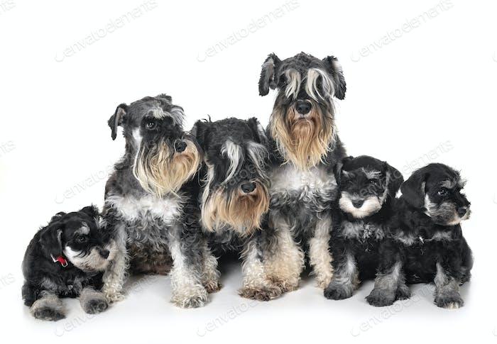 family miniature schnauzer