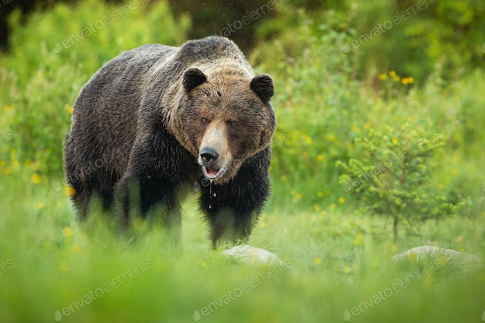 Big brown bear slobbering with mouth open and saliva dropping down on meadow