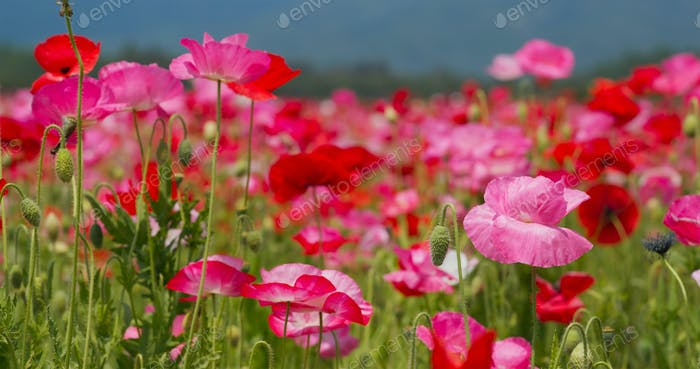 Beautiful Poppy flower garden park