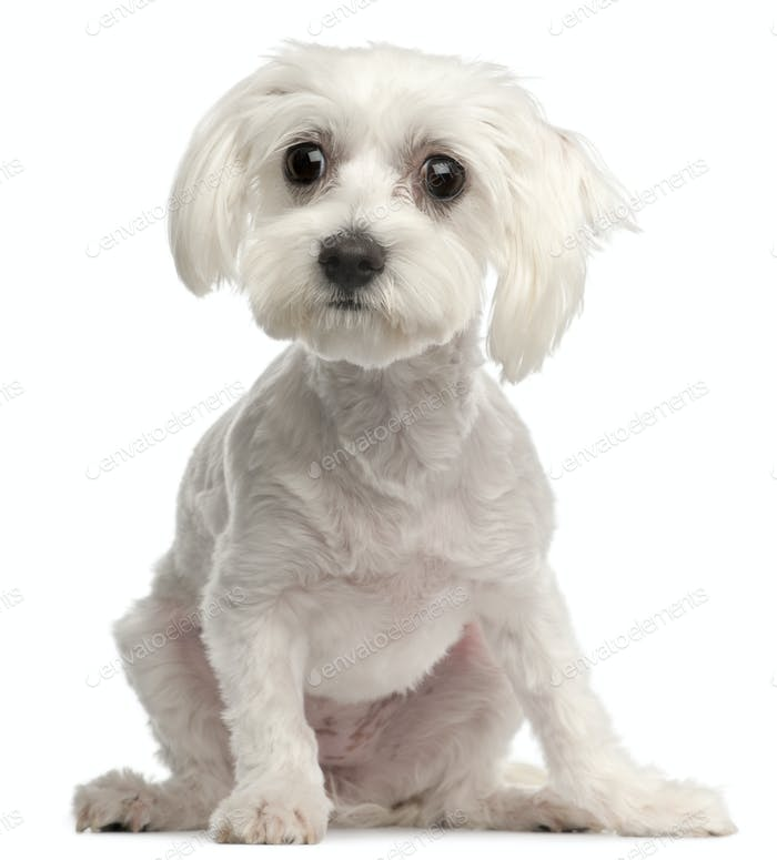 Maltese, 10 months old, sitting in front of white background