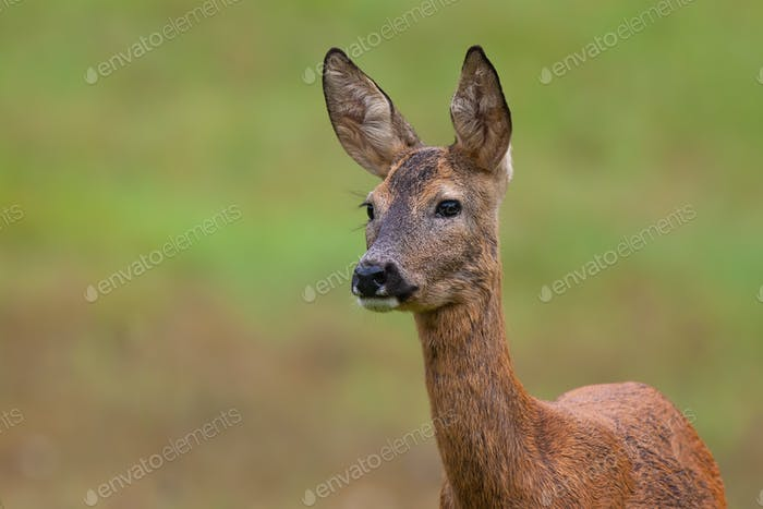 Roe deer doe standing on meadow in nature from close up