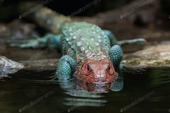 Northern caiman lizard (dracaena guianensis)