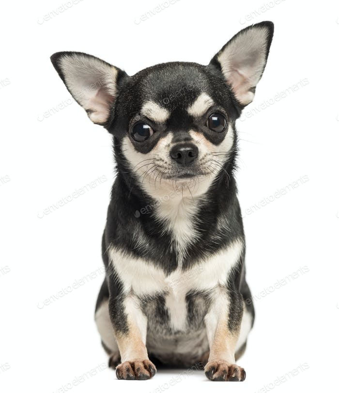 Chihuahua sitting, looking at the camera, 7 months old, isolated on white