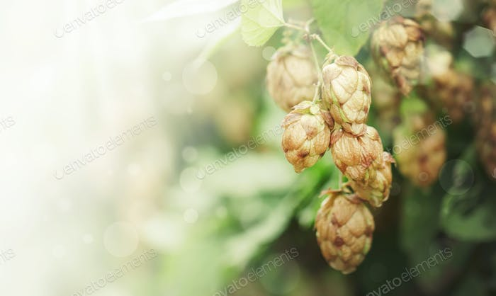 Hop cones on green bush, autumn natural background