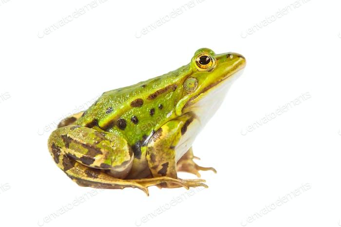 Pool frog male