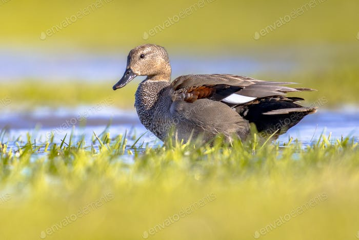 Gadwall duck in natural wetland habitat