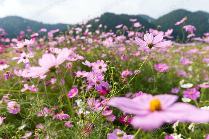 Cosmos Flower field with sky