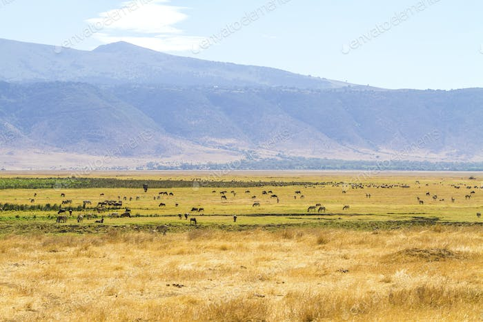 Herds of wild animals grazing in Ngorongoro