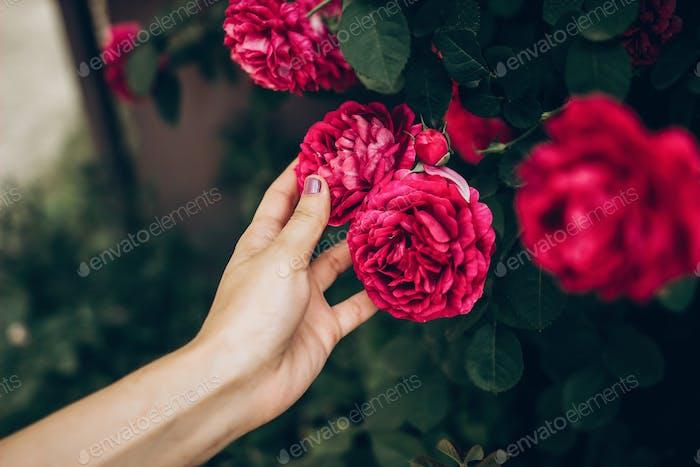 Frau Hand halten schöne lila rosa Rose. hipster Mädchen berühren erstaunliche Schönheit Blume