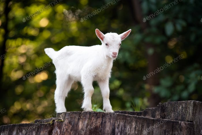Goat on tree stump