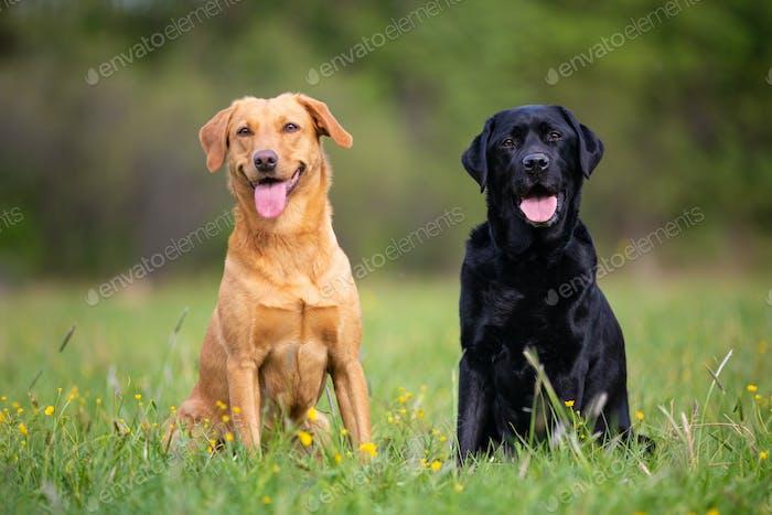 Zwei Labrador Retriever Hunde